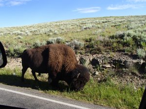 Bison very close to the road, hope no one was speeding