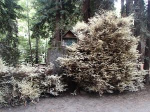 Albino Redwoods, they take a long time to grow up.
