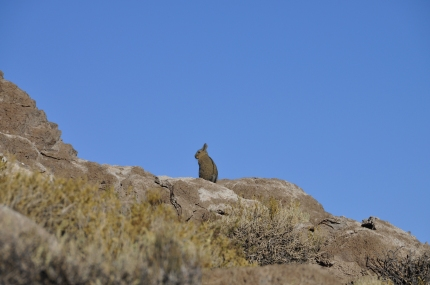Mountain rabbit on a coral island