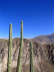Cacti with snow capped mountains in the background